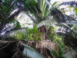 Cocoplum tree