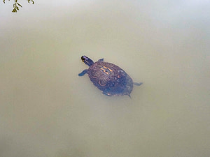 turtle with interesting shell