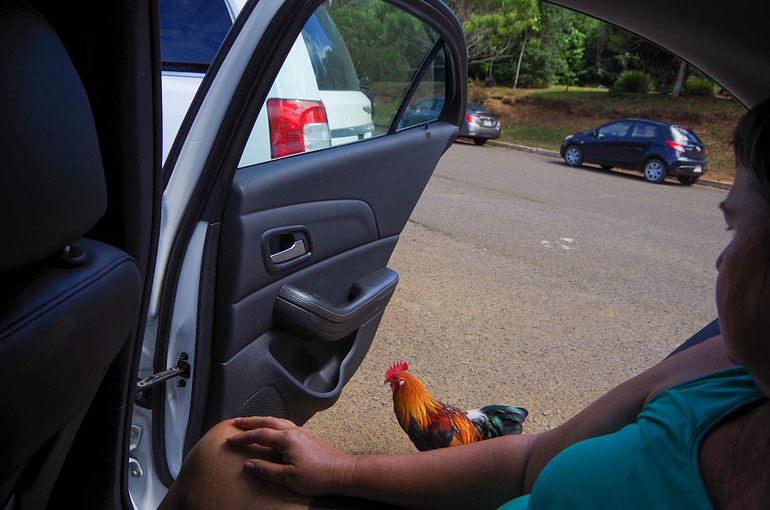 chicken that wants to get in the car