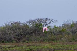 roseate spoonbill flying