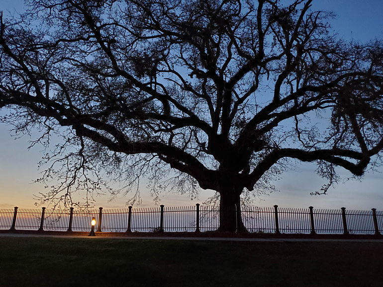 live oak at dusk