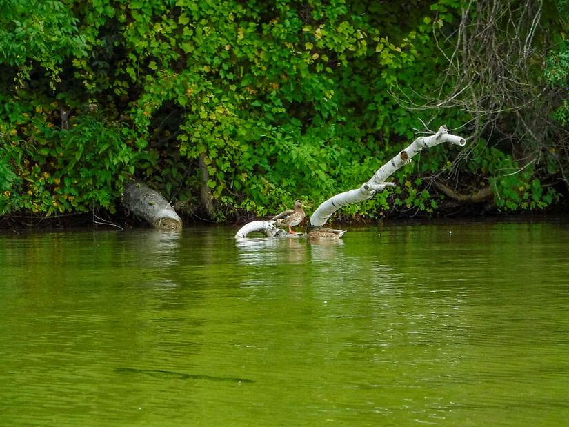 ducks on Duck Lake