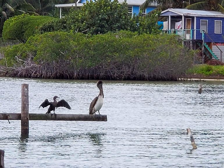 Cormorant and pelican