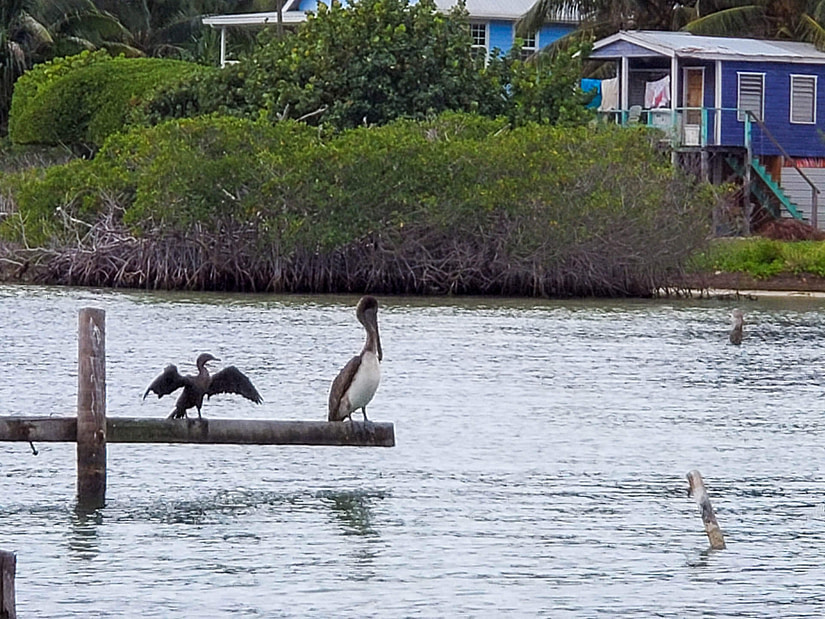 Cormorant and pelican
