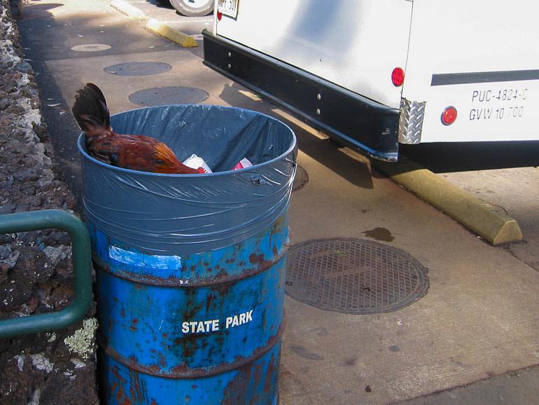 chicken in a trash barrel
