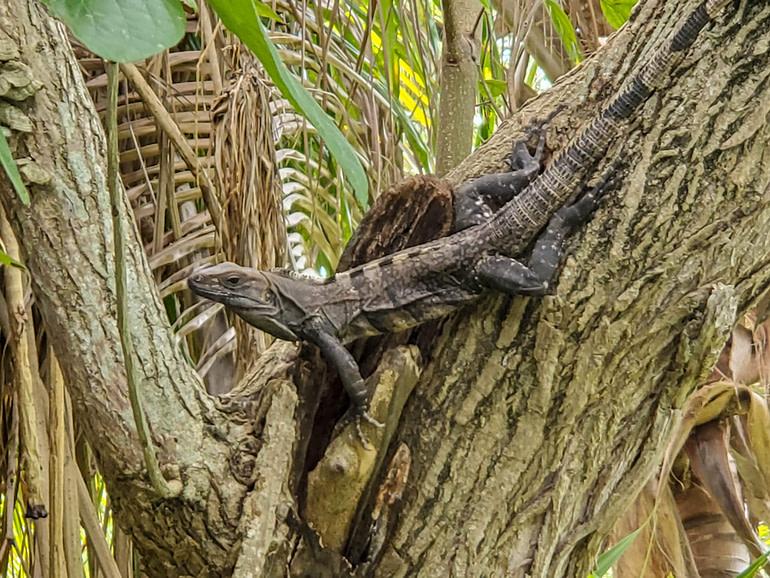 Visible iguana