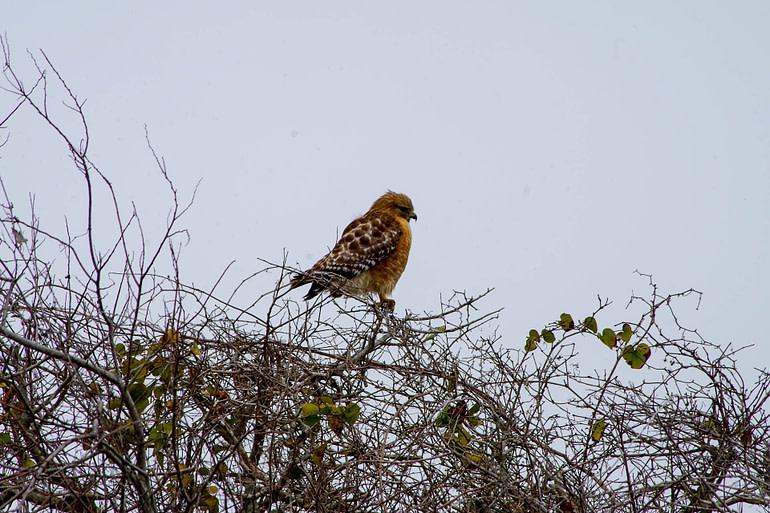 small hawk