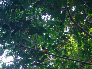 Yellow trogon