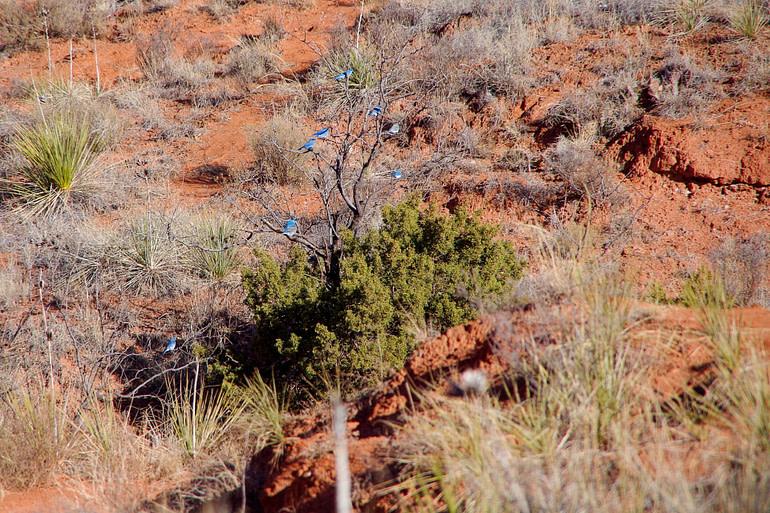 bluebirds in a tree