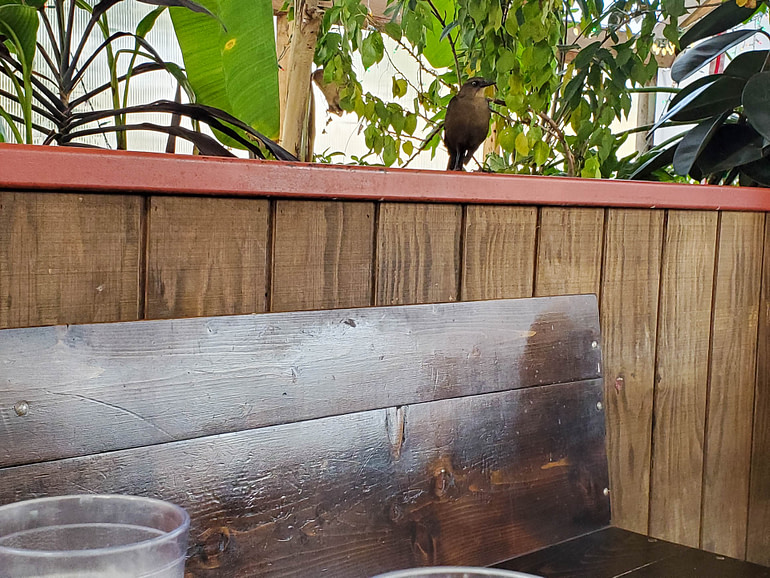 grackle at restaurant