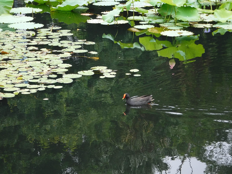 duck and lily pads