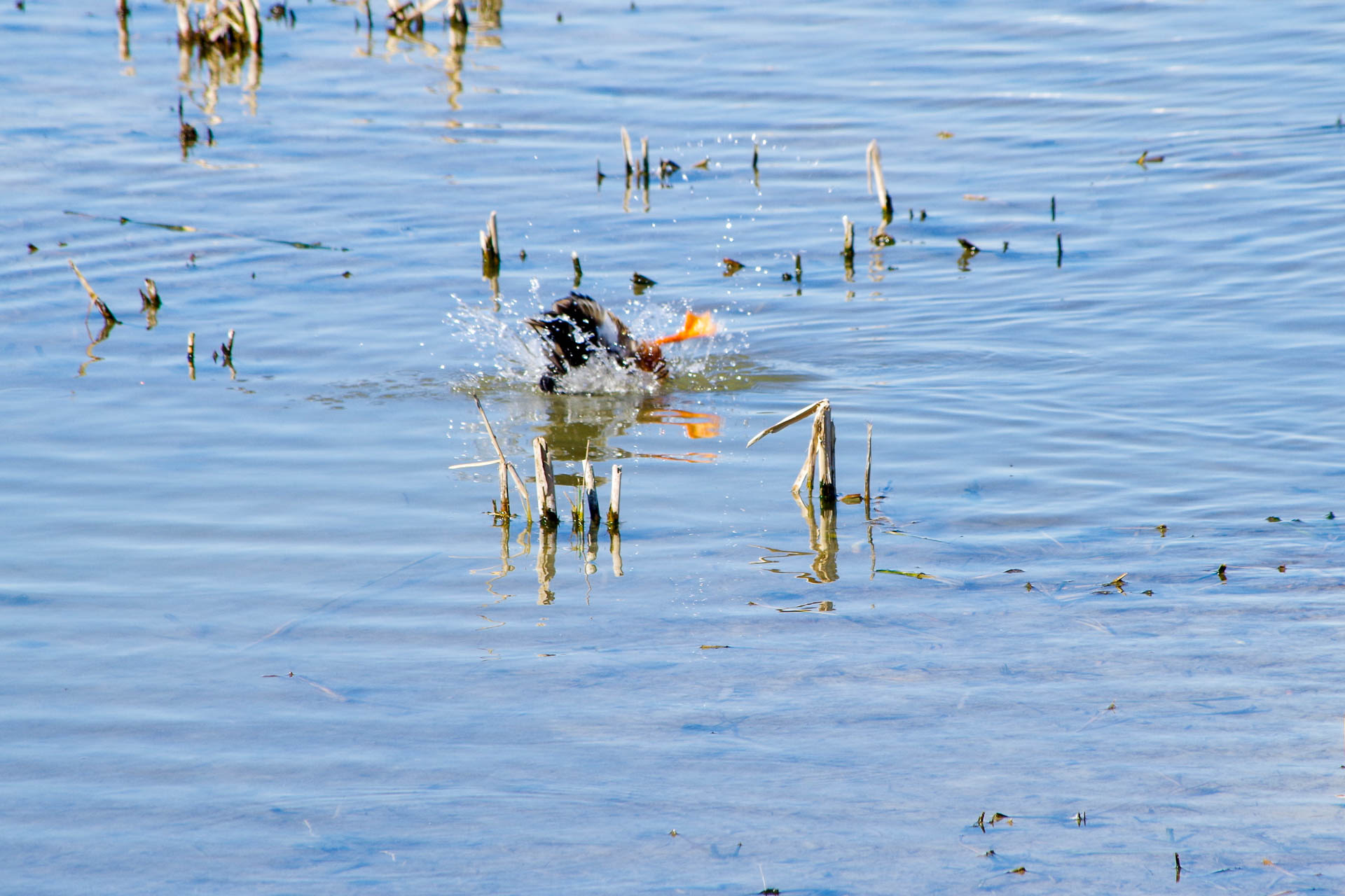 duck ducking
