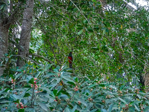 red trogon